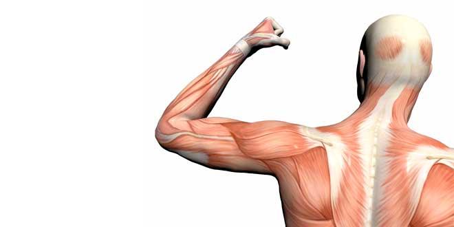 Entenda mais sobre fibras musculares.